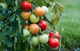 rtl maison jardin cuisine maison jardin cuisine détente spaghetti à la tomate et taille