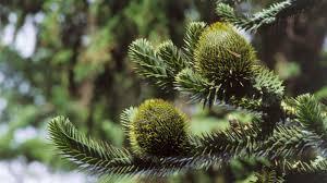victorian native plants araucaria araucana molina k koch plants of the world online
