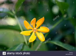 native flowering plants gardenia is a genus of flowering plants in the coffee family