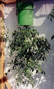Upside Down Tomato Planter by Garden Article Growing Tomatoes Upside Down