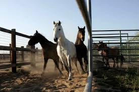 mustang adoptions boise blm adoptions on hold due to equine distemper