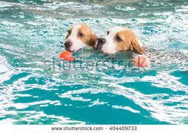 cute beagle dog swimming pool stock photo 404414824 shutterstock
