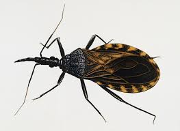 remain calm kissing bugs are not invading the us wired