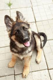 belgian shepherd 4 months german shepherd puppies google search german shepherd puppies