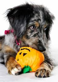 to keep pets safe from halloween hazards