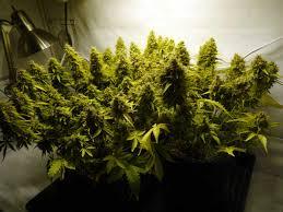 250 watt hid grow lights grow 4 7 oz with a 250w hps beginner tutorial grow weed easy