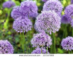 purple flowers ornamental garlic stock photo 107167988