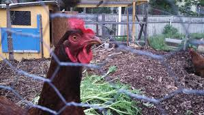 Chickens In The Backyard by Backyard Chickens Fly The Coop In North Providence U2014 Ecori News