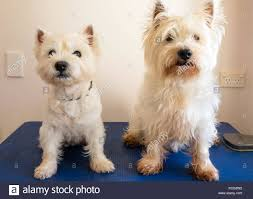 images of westie hair cuts two west highland white terrier westie dogs on grooming table one