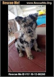 australian shepherd los angeles california australian shepherd rescue u2015 adoptions u2015 rescueme org