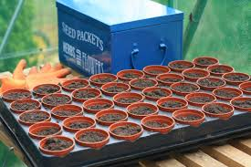 growing flowers from seed half hardy annuals
