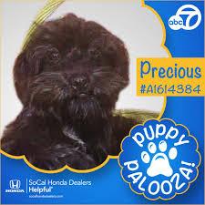 affenpinscher for adoption puppy palooza adoption event for national puppy day abc7 com