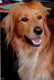 belgian shepherd gumtree best 25 hovawart ideas on pinterest hovawart dog hundebesitzer