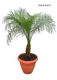 pygmy date palm tree roebelenii small pygmy date palm