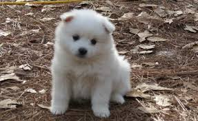 american eskimo dog new zealand puppies american eskimo dog sale hong kong american eskimo dog