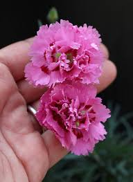 dianthus flower dianthus agatha buy online at s annuals
