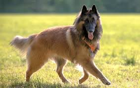 belgian sheepdog brown belgian dog breeds dog breed atlas