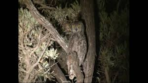owl in a tree at