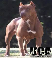 american pitbull terrier merchandise american pit bull terrier information and pictures united canine