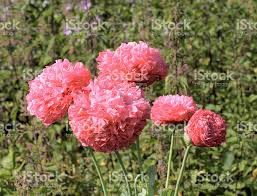 bright pink opium poppy garden variety growing wild stock photo