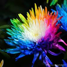 2017 20 rainbow chrysanthemum flower seeds rare color new arrival