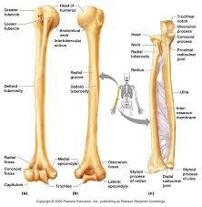 Human Anatomy Skeleton Diagram 16 Best Bones In The Leg Images On Pinterest Human Anatomy