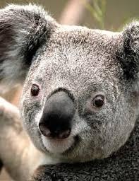 fun koala facts kids interesting information koalas