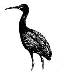 file plegadis falcinellus bird glossy ibis line drawing jpg