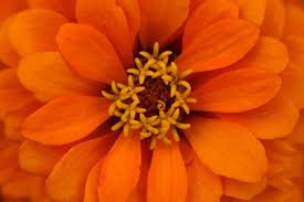 Flowers Colors Meanings - zinnia flower meaning flower meaning