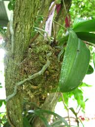 Orchids Facts by Planting Orchids In Trees Miss Smarty Plants