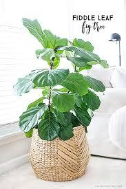 Low Light Indoor Trees Best 25 Interior Plants Ideas On Pinterest House Plants Plant