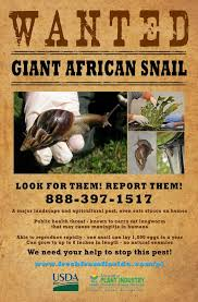 Where Can You Find Snails In Your Backyard Giant Snails Are Terrorizing Florida Cbs News