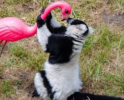 17 best zoo ideas images on zoo animals lemur and pet