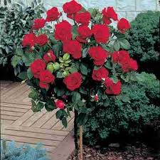 Roses For Sale Pros U0026 Cons Of Growing A Mister Lincoln Rose Mr Abraham Lincoln