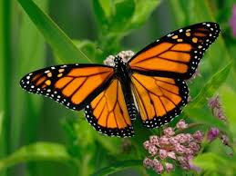 are monarch butterflies doomed southern living