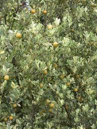 a tasty hardy and ornamental calamondin orange dokmai dogma
