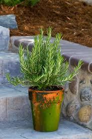Rosemary Topiary Rosemary Monrovia Rosemary
