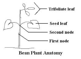 bean plant activities