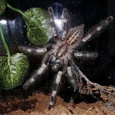 poecilotheria miranda bengal ornamental arachnoboards