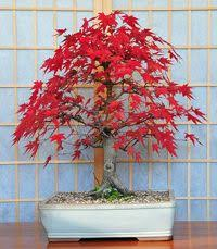9 best buy bonsai trees from bonsai boy images on