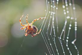 spiders tune the strings of their webs mental floss
