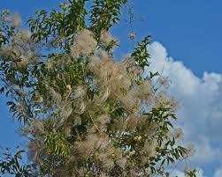 clematis species provide interest summer through fall native