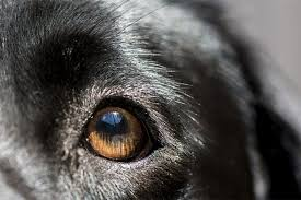 do cataracts in dogs lead to blindness cuteness