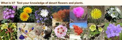 flowers and plants of the anza borrego desert