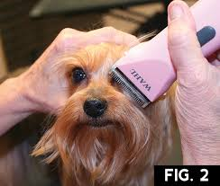 haircuts for yorkies with thin hair yorkie short trim groomer to groomer pet grooming news stories