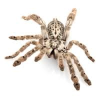 ornamental baboon tarantula juveniles 29 99