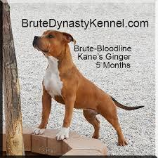 american pit bull terrier breed standard xl tri color bully pitbulls u0026 puppies pocket tri color bully
