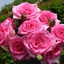 Diana Princess Of Wales Rose by Hybrid Tea Floribunda Climbing And Shrub Roses