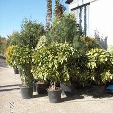 arbuste feuillage pourpre persistant arbustes persistants les nouvelles pépinière du gatinais