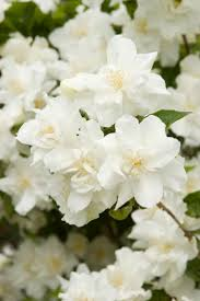 murraya paniculata large orange jasmine the 25 best mock orange ideas on pinterest mock orange bush